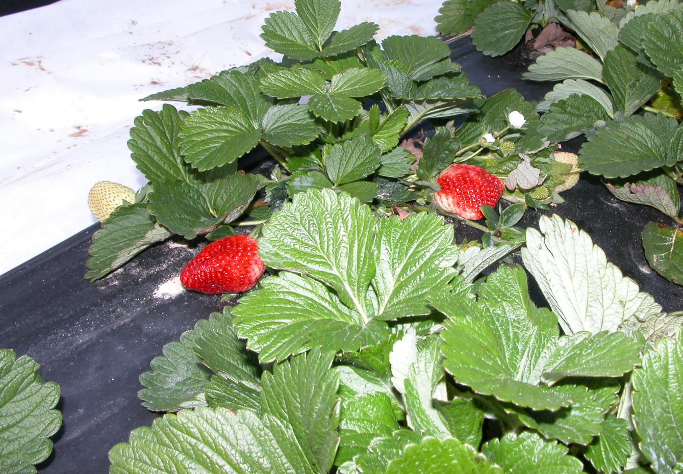 Strawberry plants with ripe strawberries.JPG thumbnail