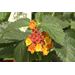 Bandana lantanas are tough compact Super Plants