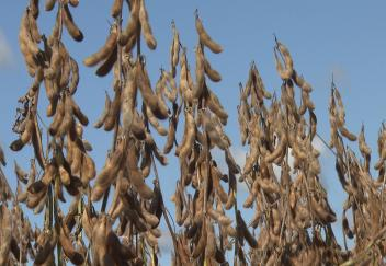 Soybean harvest having good yields and good quality