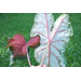 Classic, new caladiums recommended for Louisiana gardens