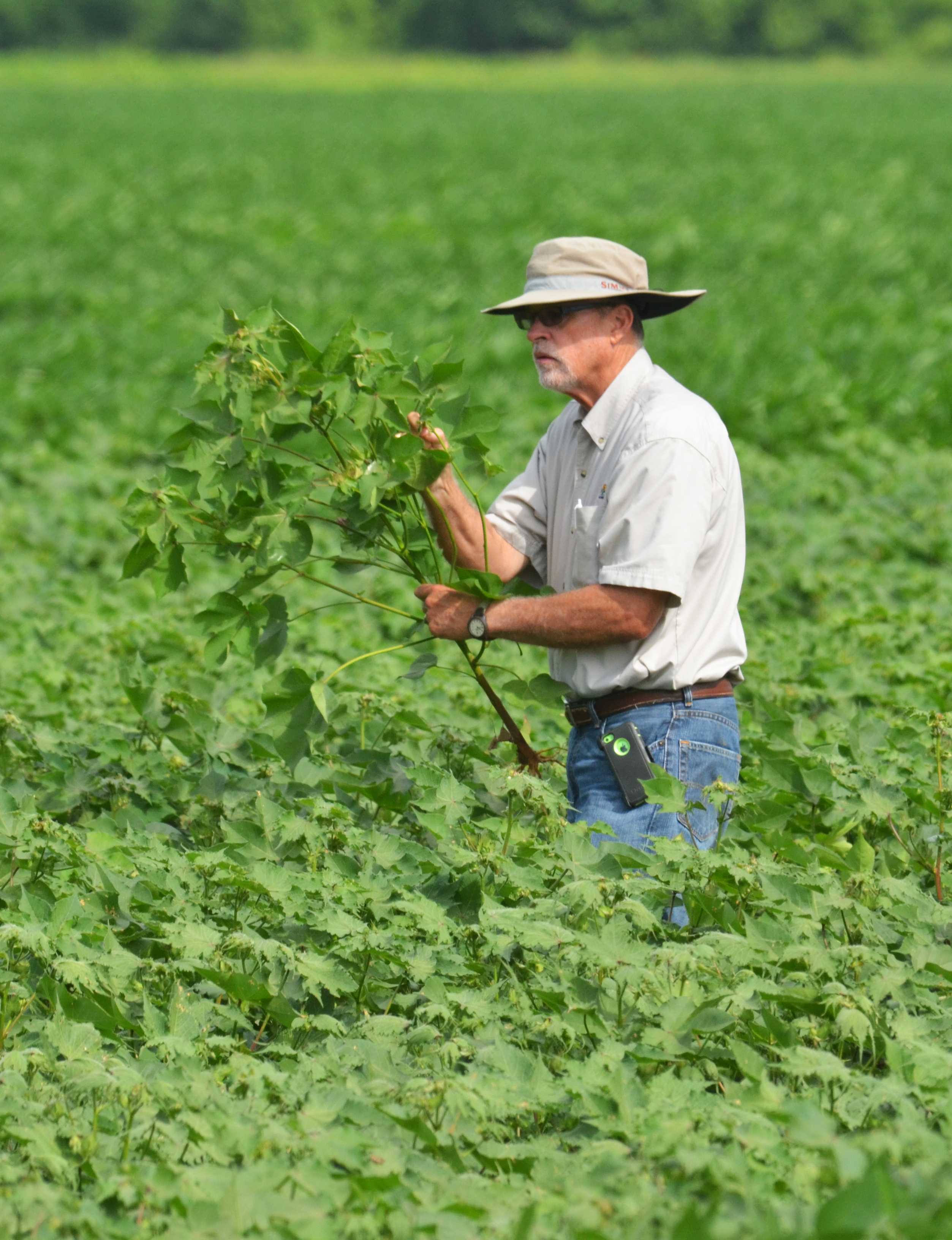 Dan Fromme checking cotton plant.jpg thumbnail
