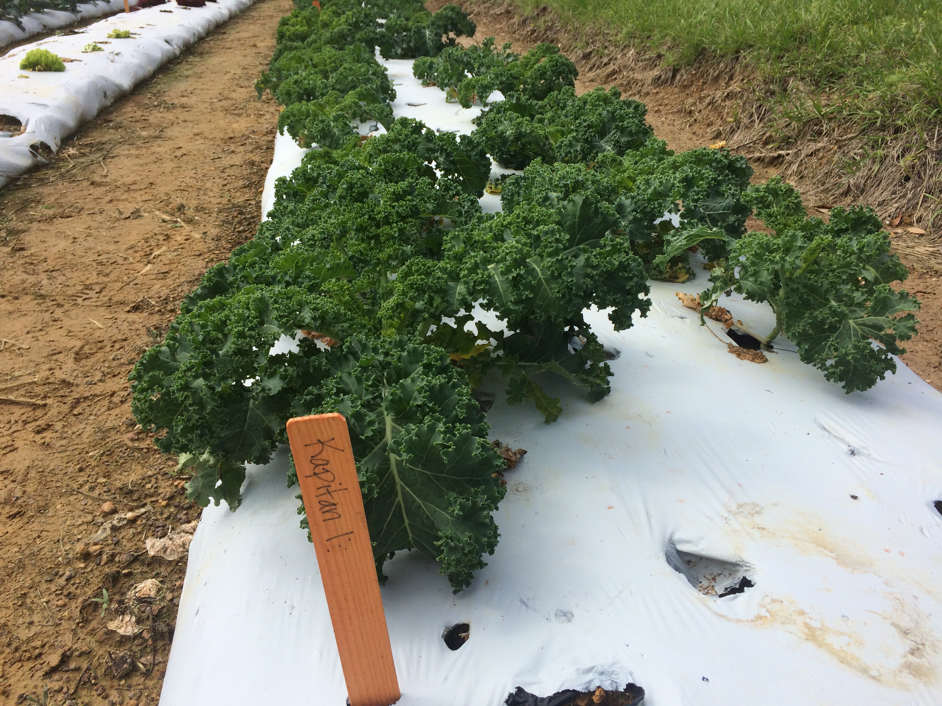 2017 LSU AgCenter / MoravoSeed Lettuce and Kale Trials