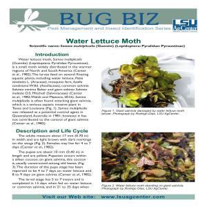 Bug Biz: Water Lettuce Moth