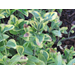 Brown Spots on Euonymus Shrub