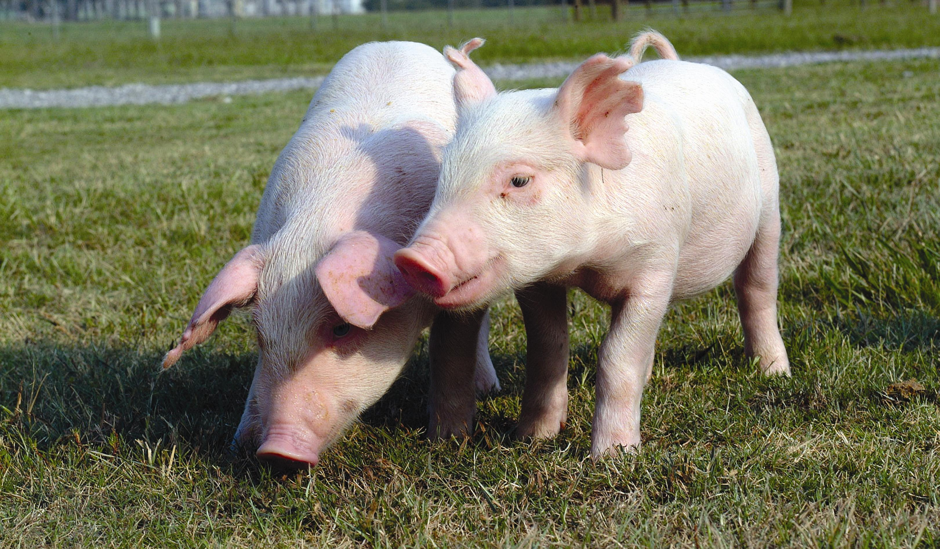 Adding Phytase Proves Positive for Poultry Swine Diet