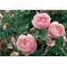 Earth-Kind roses are low-maintenance options