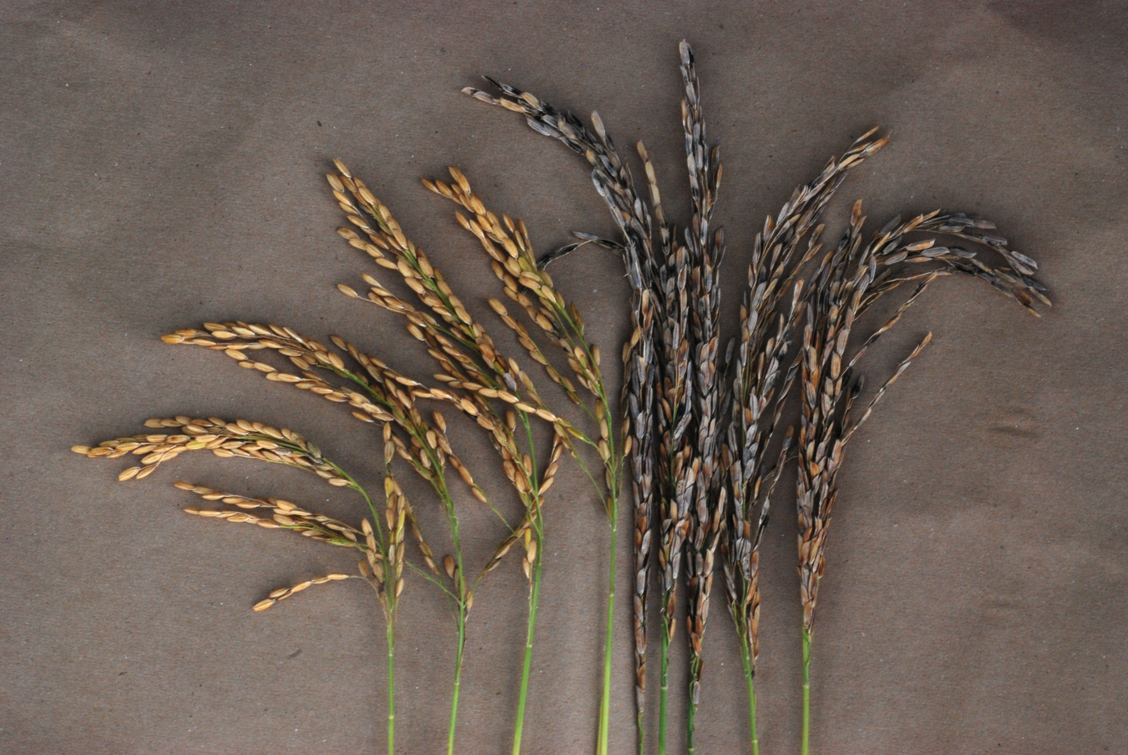 Panicle Blight Resistant and Susceptible Varieties