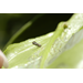How to scout for the asian citrus psyllid and greening disease
