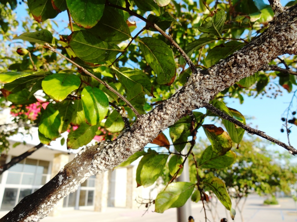 Crape myrtle bark scale management updates