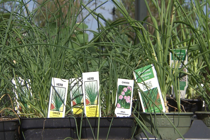 It's a great time to plant tasty chives