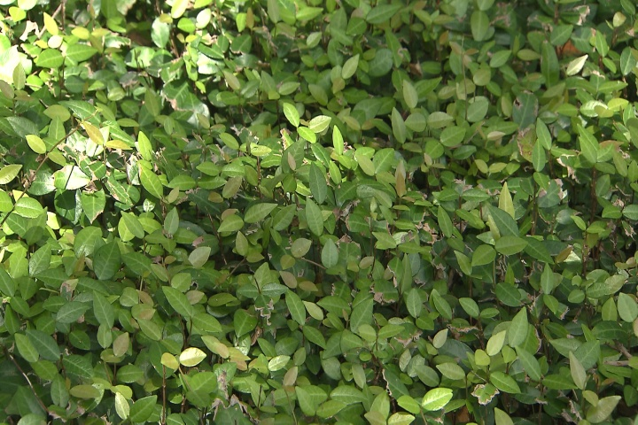 Asian jasmine is a tough, vigorous ground cover