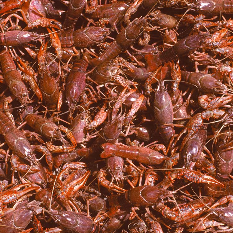 Crawfish catch starting slow but showing promise