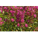 Crape myrtles come in different colors and sizes