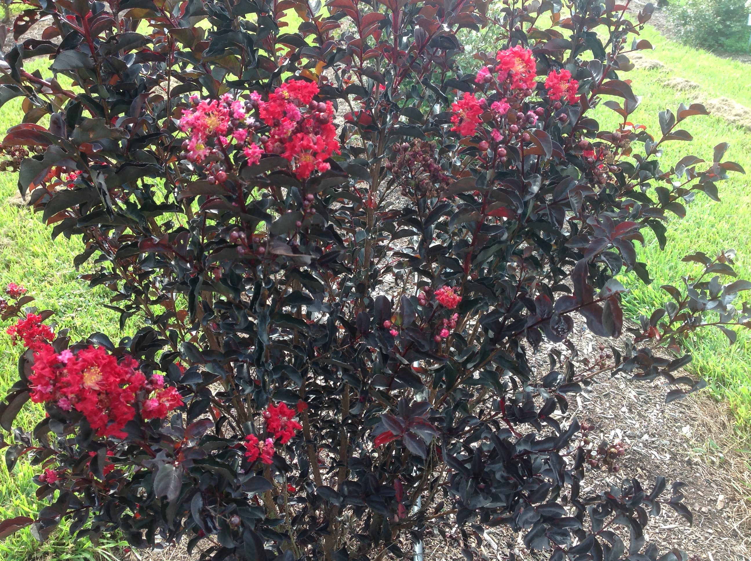 Crape myrtles highlight summer landscapes