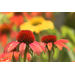 Cheyene Spirit coneflowers offer diverse colors