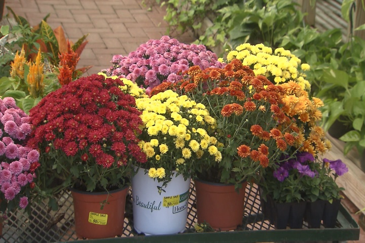 Fall mums come in three types