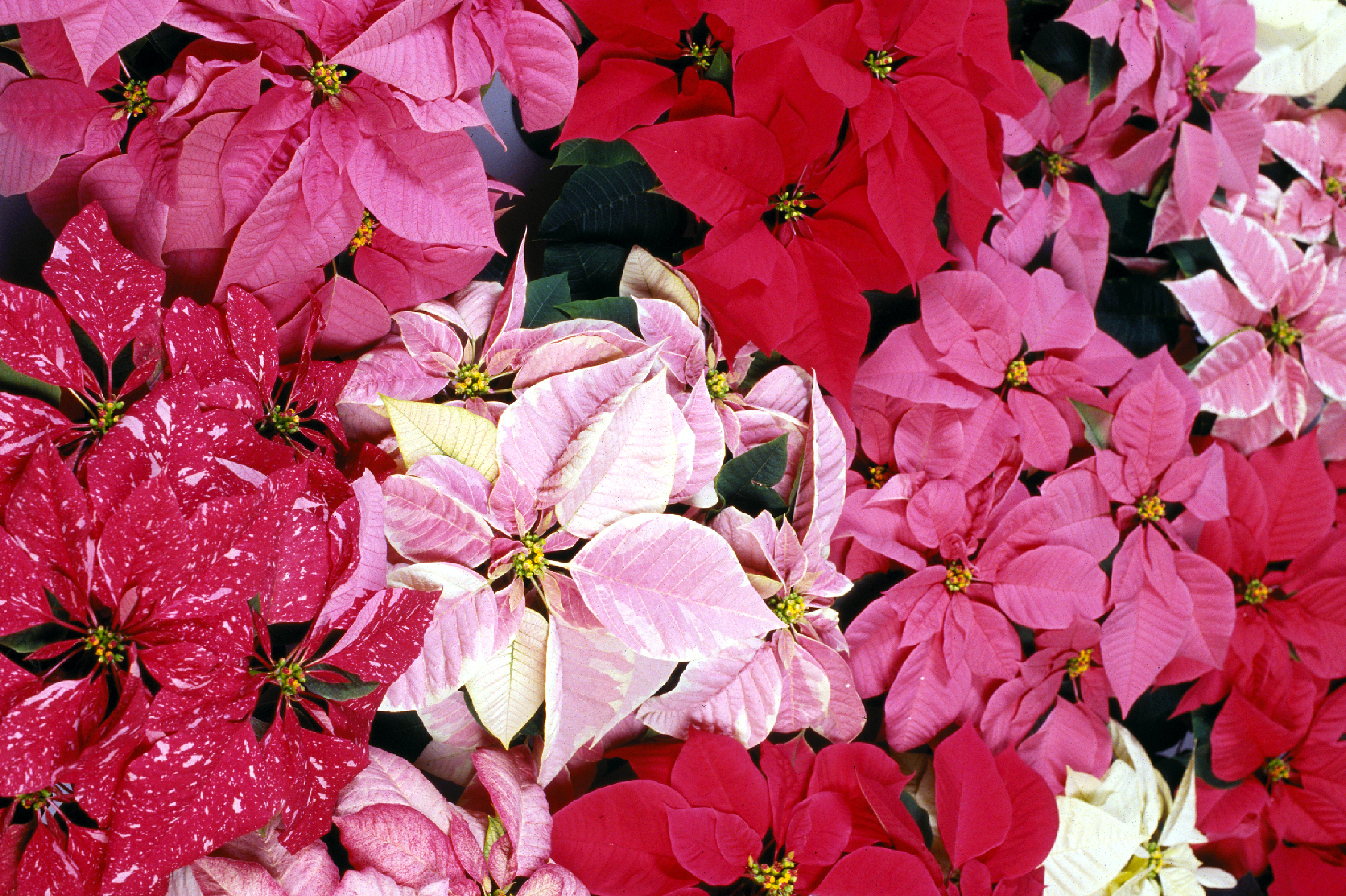 LSU AgCenter poinsettia show set for Dec. 1 in Baton Rouge