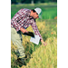 LSU AgCenter rice breeders work to improve varieties and hybrids