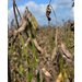 La. soybean crop beats expectations