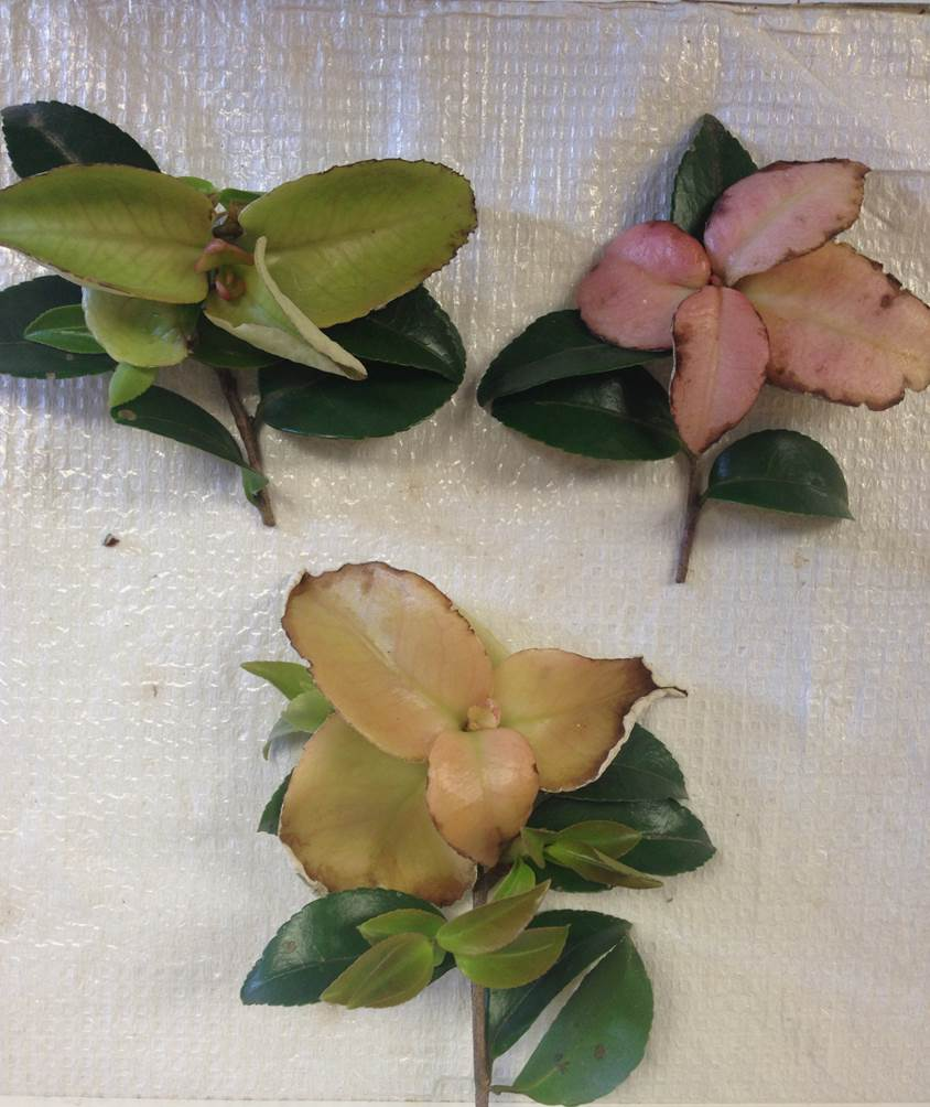 Three colors of gall on camellia leaves.