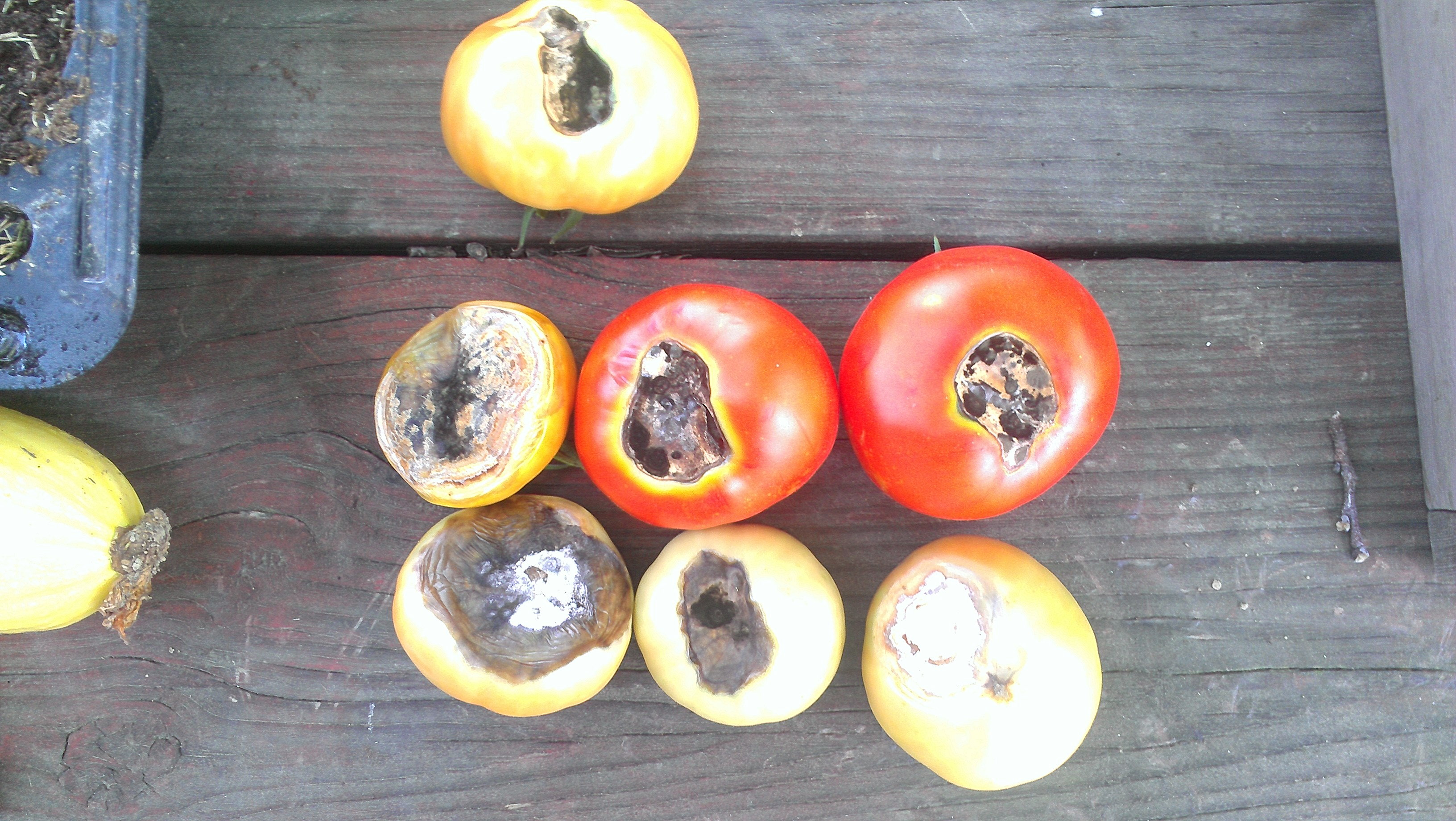 Gardeners Concerns About Tomatoes