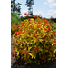 Lime Sizzler firebush adds a hot look to landscapes