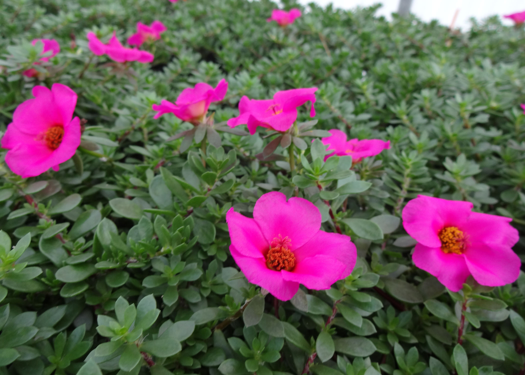 Florida Dwarf Rose purslane.jpg thumbnail