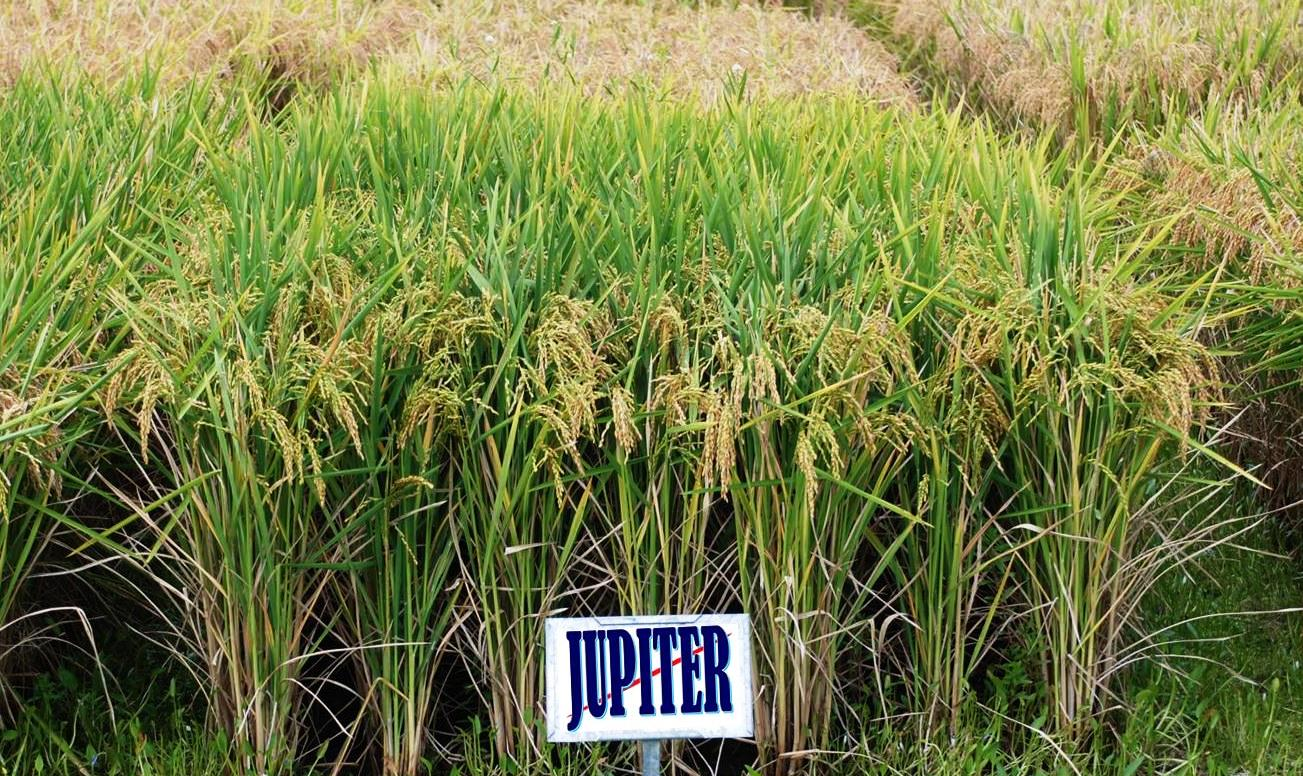 Jupiter rice variety – the most commonly grown medium grain in the southern U.S.