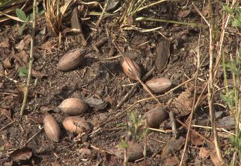 Pecan crop hurt by weather