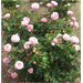 Belinda's Dream Rose  – Louisiana Super Plant Fall 2011