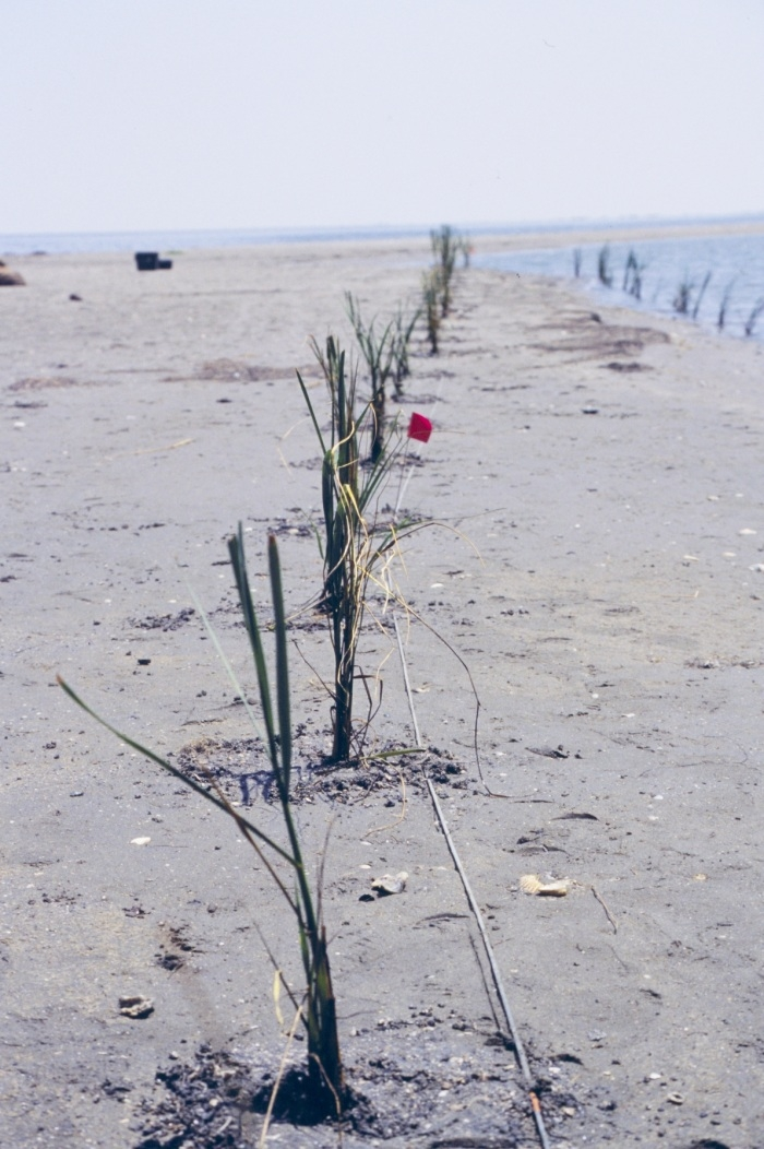 Restoration plants on Barrier Island