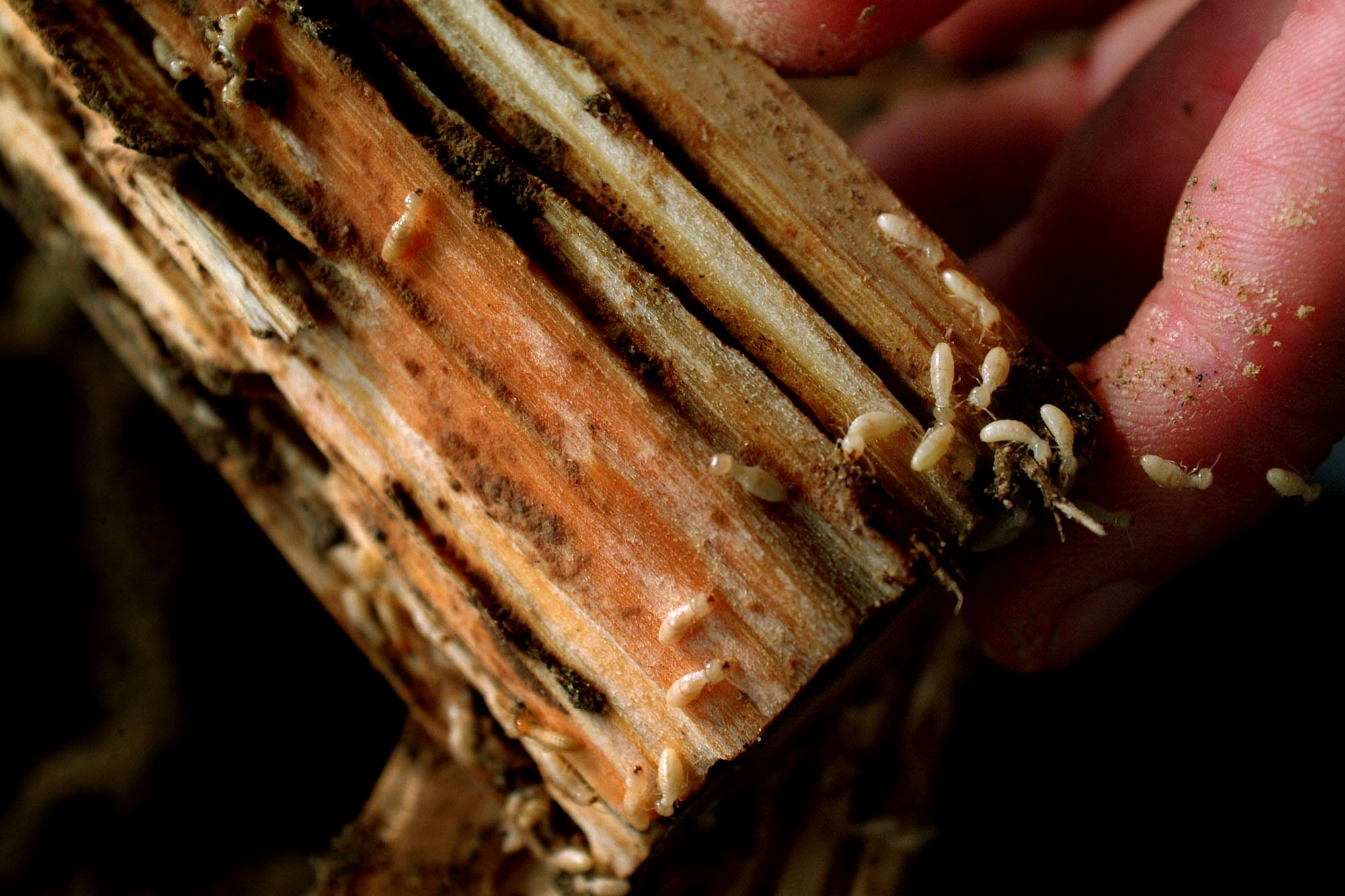 Formosan termite numbers rising in East Baton Rouge and Louisiana