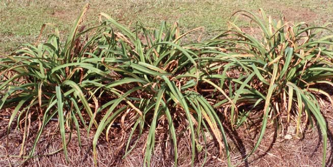 Daylily Rust Problem Continues