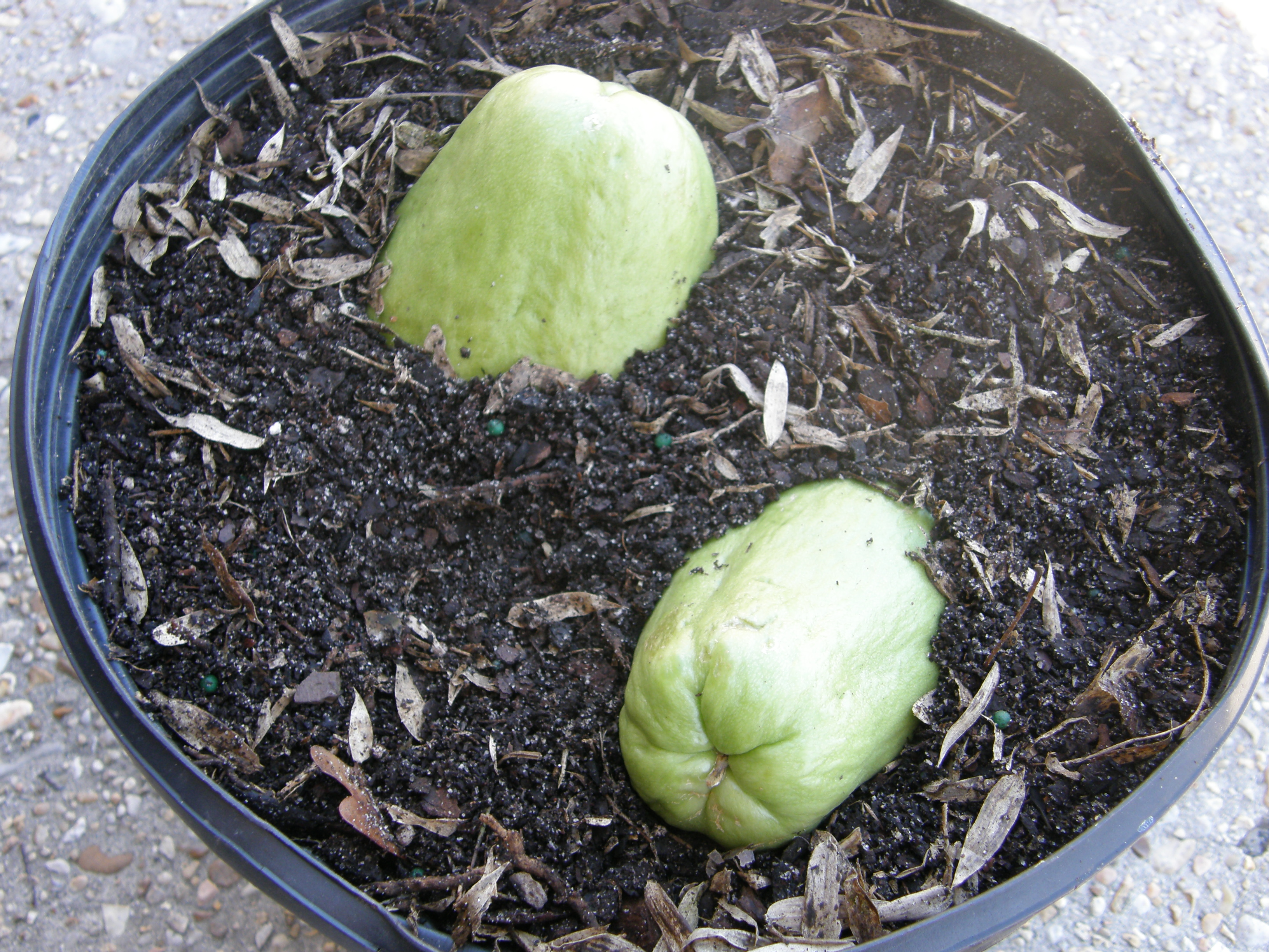 Plant mirlitons with the stem end or broad end down. Roots and shoots will emerge from the soil in a