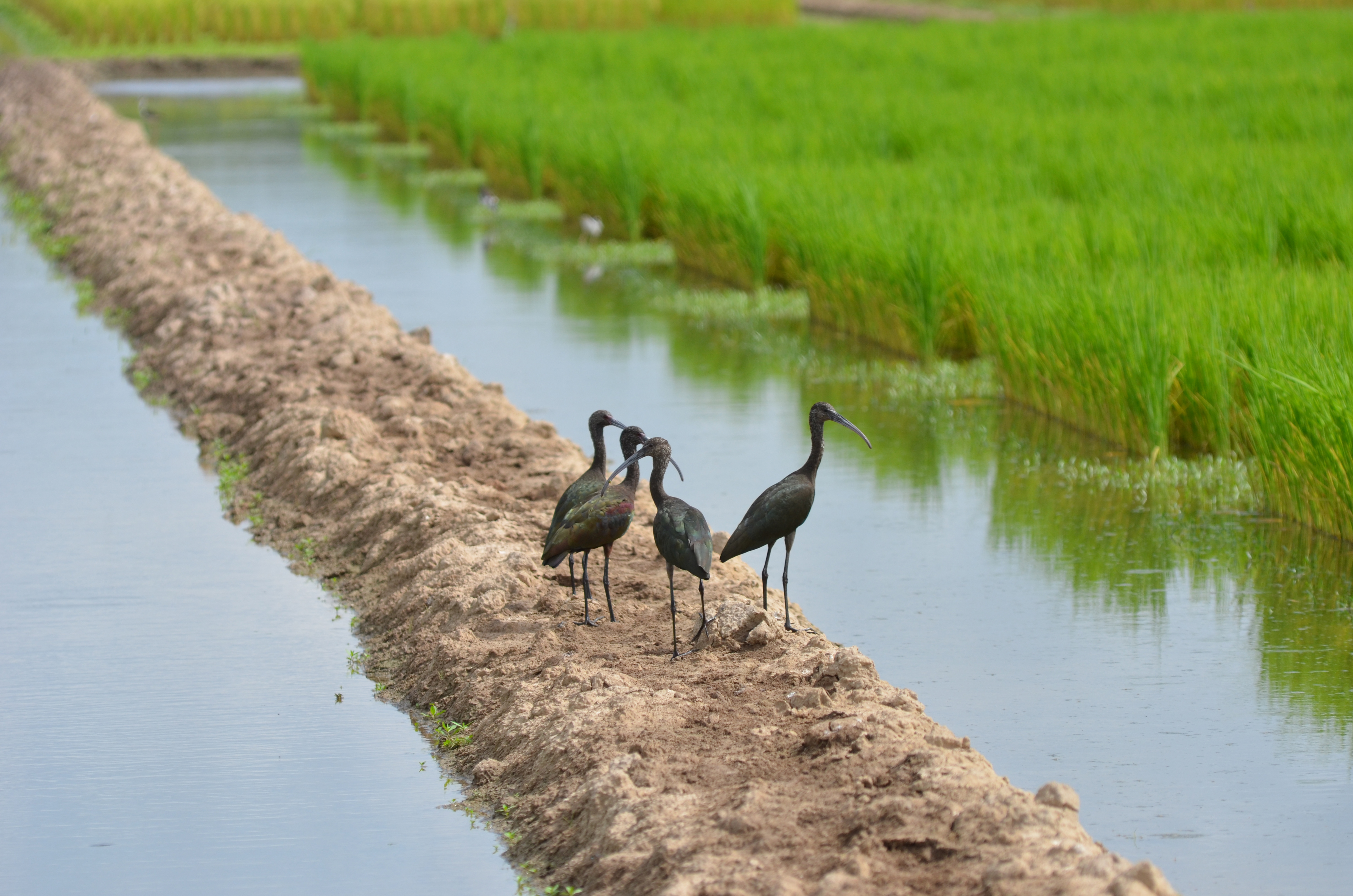 Waterfowl use the rice fields at the LSU AgCenter's Rice Research Station