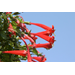 Firecracker vine pops with color attracts hummingbirds