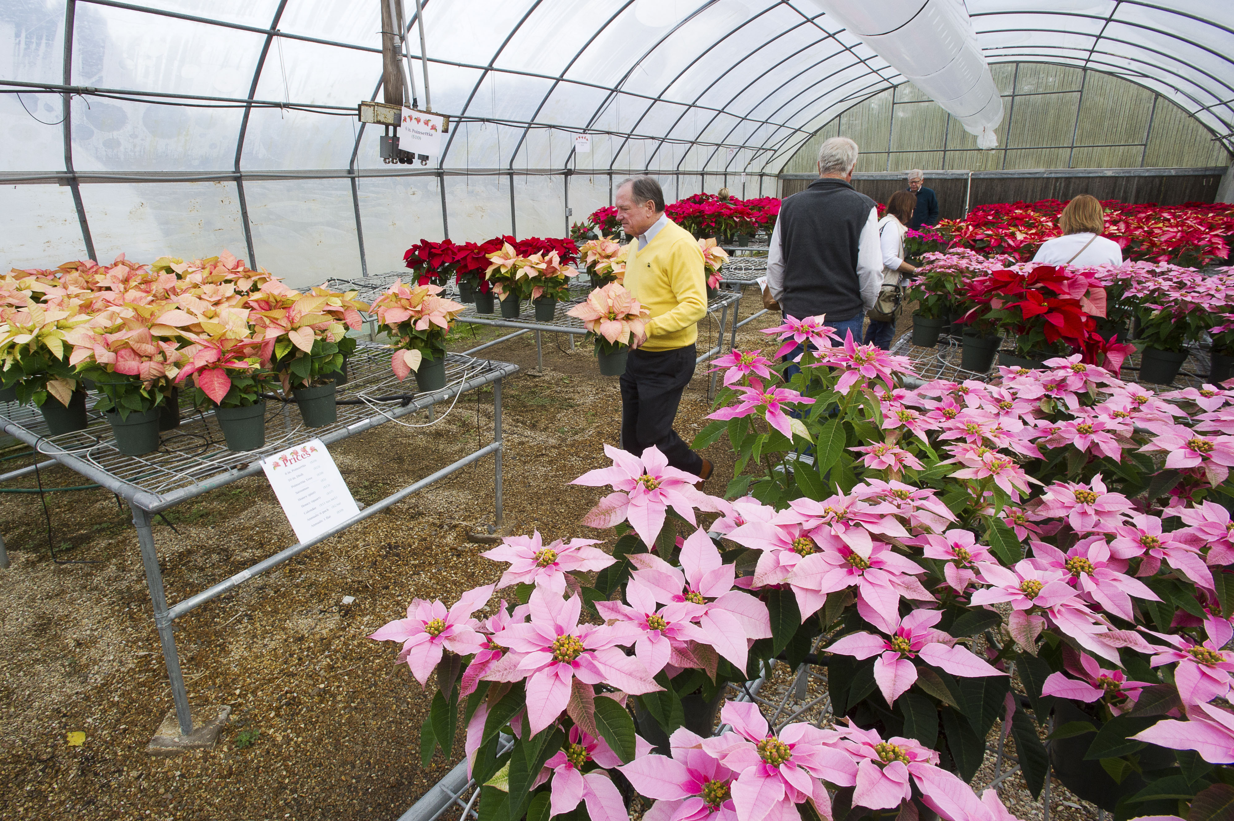 Visitors purchase poinsettias, evaluate new varieties at annual event
