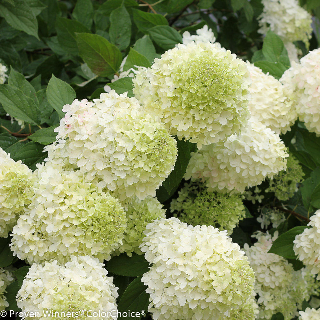 Limelight hydrangea named Louisiana Super Plant