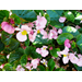 Begonia – Ornamental Plant of the Week for April 14, 2014