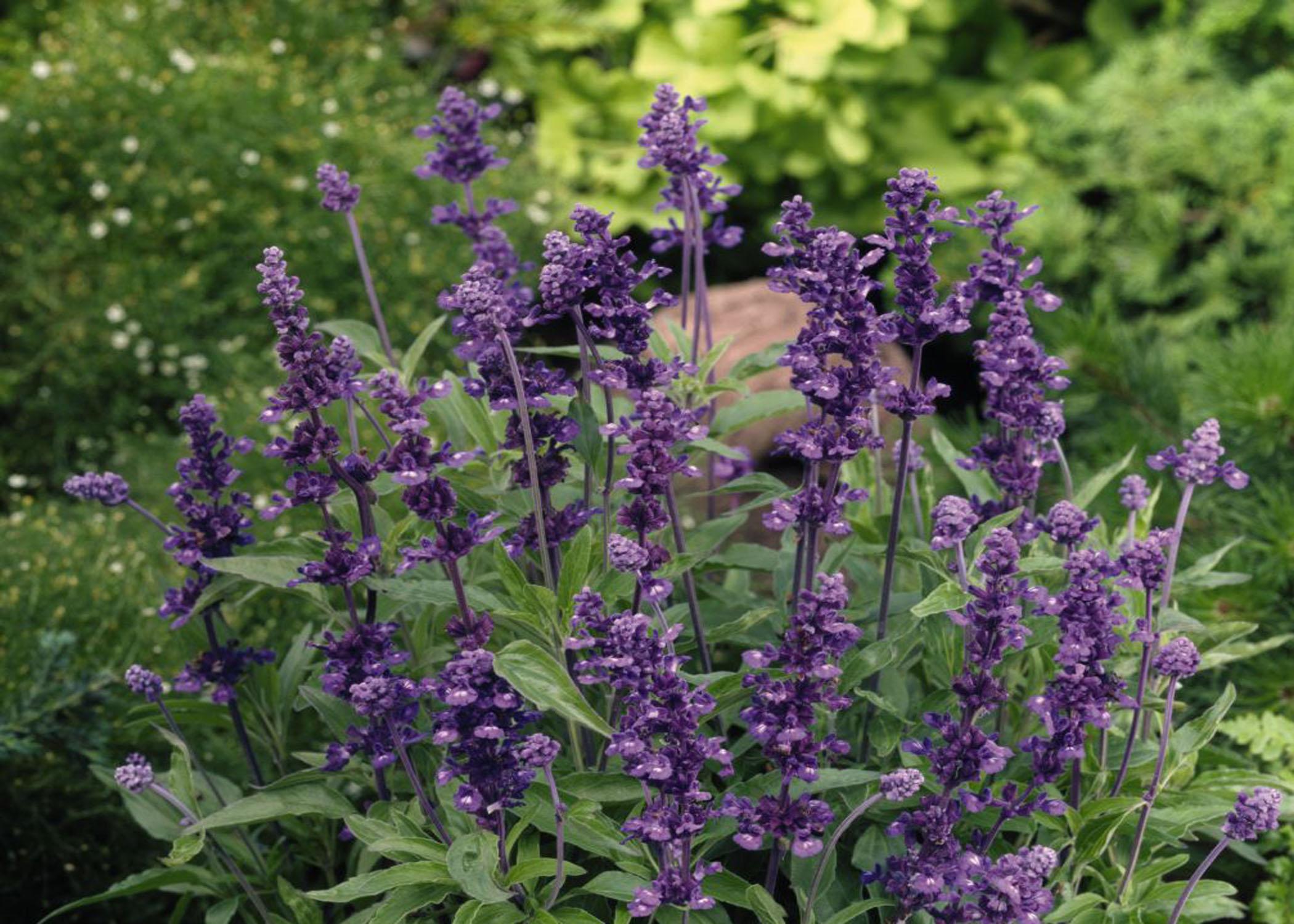 a super salvia for louisiana gardens