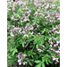 Cleome – Ornamental Plant of the Week for April 28, 2014