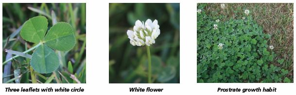 Image of three leaflets with white circle, white flower, prostrate growth habit.