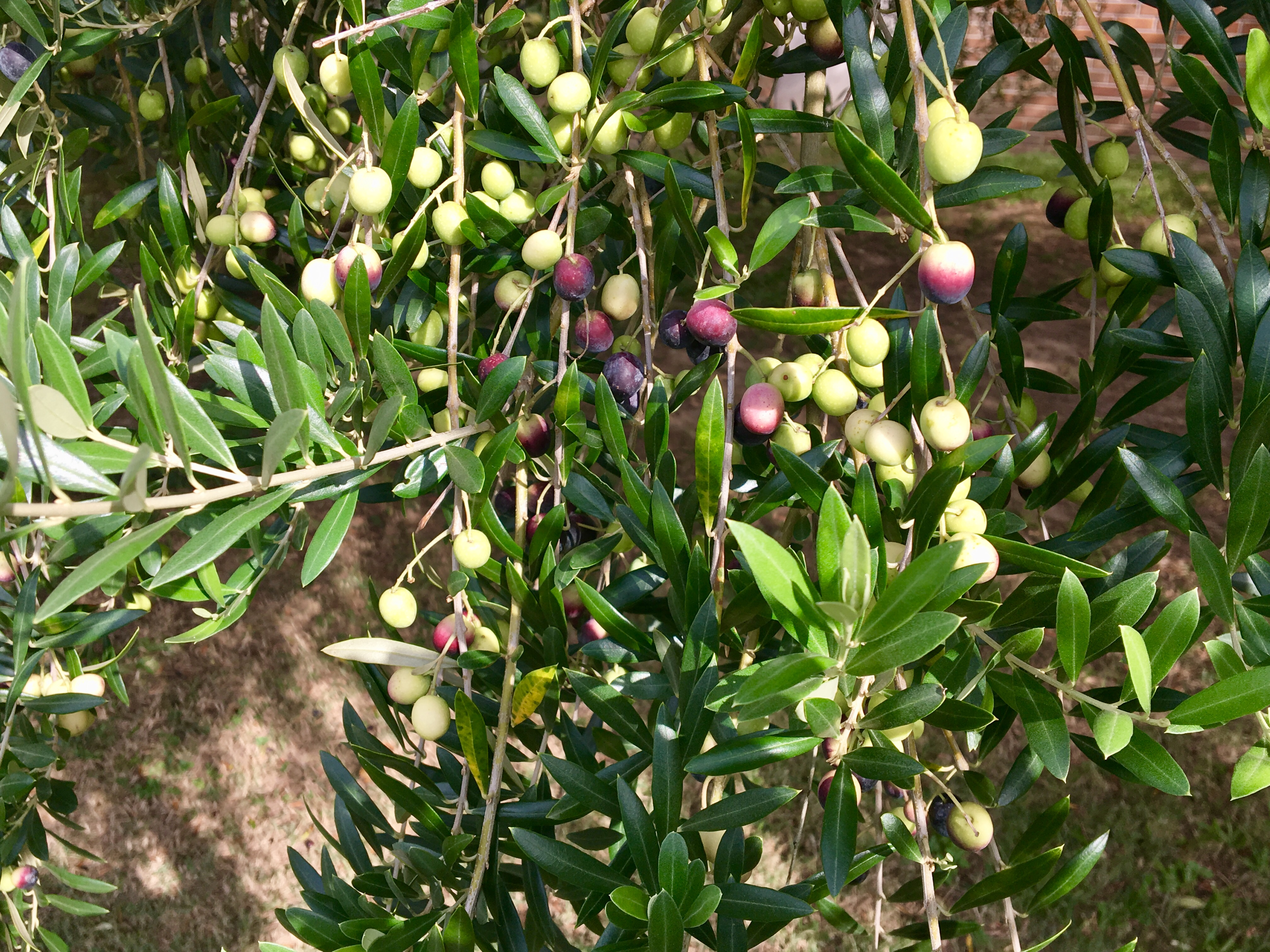 olive fruit and leaves.JPG thumbnail