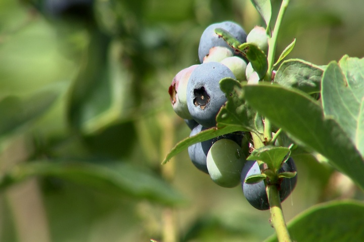 IMAGE 3-Blueberries jpg