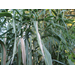 Getting Rid of Giant Reed Grass