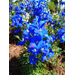 Diamonds Blue delphinium - cool-season bedding plant