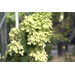 Super Plant Limelight hydrangea blooms through the summer