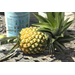 Grow your own pineapples for delicious, fresh fruit