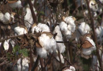 Cotton acreage up slightly in 2014