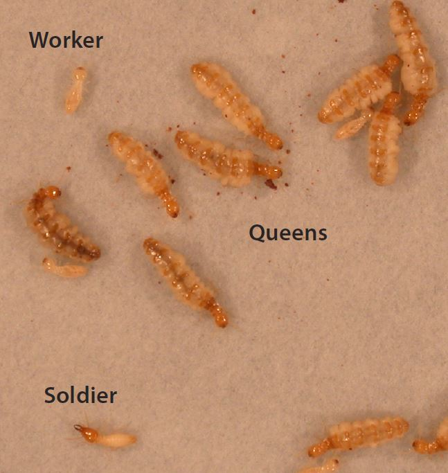 Formosan subterranean termite colony: Workers, soldiers and multiple immature sister queens.